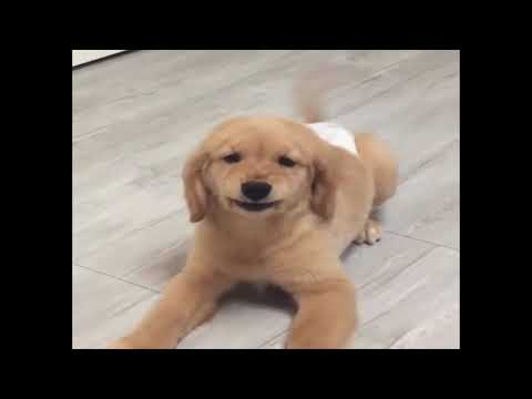 Funniest & Cutest Golden Retriever Puppies #17 - Funny Puppy Videos 2019