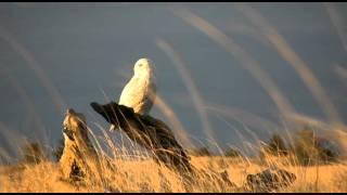 Snowy Owls Along the Washington Coast