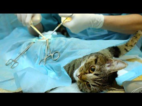 FIXING A PREGNANT CAT