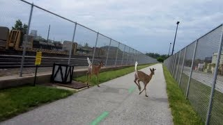 Riding along with two Deer on the Towpath.
