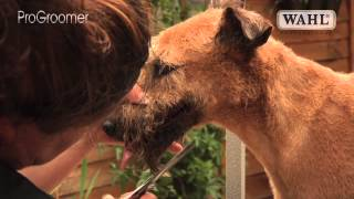 Grooming Guide  Irish Terrier  Clipped  Pro Groomer
