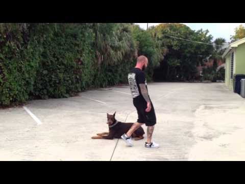 Some basic training with Dunkin our Red Doberman