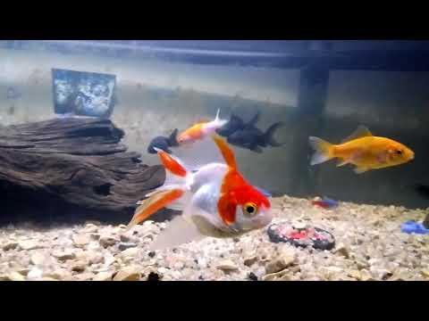FISH TANK BRAWL: Aggressive Goldfish