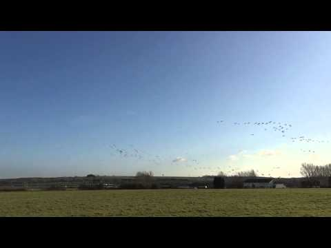 Brent Geese at Lower Halstow HD
