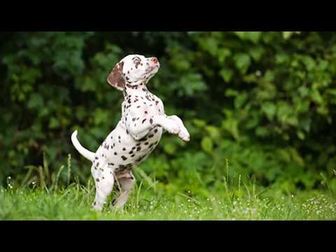 The Dalmatian Dog Has Become Pretty Famous