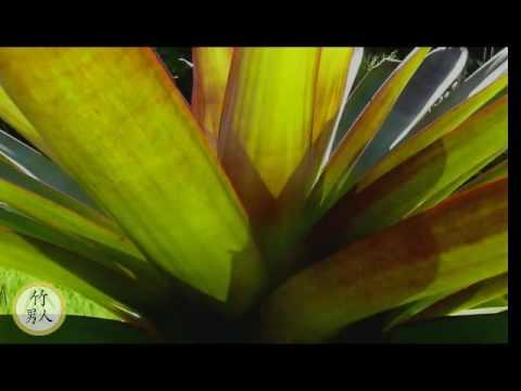 Bromeliads Alcantarea Imperialis Rubra