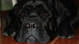 dangerous dogs Cane Corso and Staf))) Опасные собаки кане корсо и стаф))