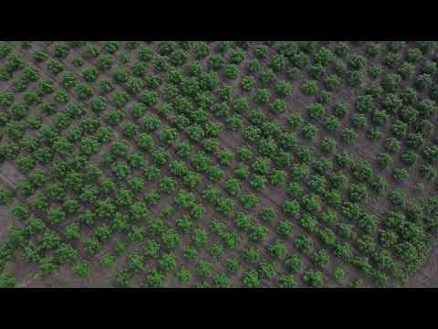 2020 Michigan Hemp 25 Acre Field at 8 Weeks (Oregon CBD Genetics)