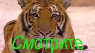 Тигр читает мысли
