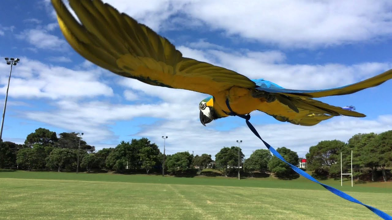 1782 best images about Parrots on Pinterest | Love birds ... |Blue Macaw Parrot Flying