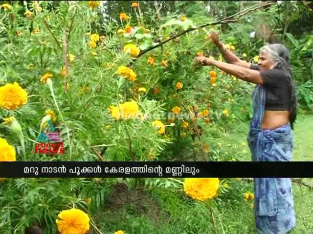 Flower fields in Kanjikkuzhi, Kerala ready for Onam