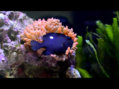 Three Spot Domino Damselfish Hosting Rose Bulb Tip Anemone (RBTA)