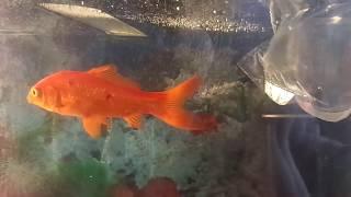 Золотые рыбки. Мы их всё таки купили.