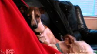 Hope falling asleep - Italian Greyhound Rescue - ROMP Italian Greyhound Rescue