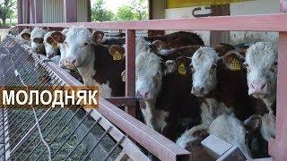 Мясной КРС герефордской породы. Телки и бычки на продажу.  КФХ Колесниковых.