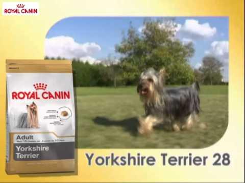 yorkshire terrier razas royal canin youtube. Black Bedroom Furniture Sets. Home Design Ideas