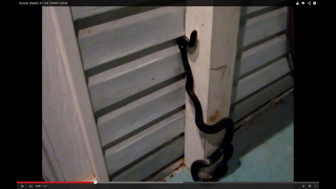 & BLACK SNAKE AT THE FRONT DOOR - YouTube