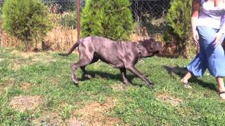 Aida - Neapolitan Mastiff Dog For Sale