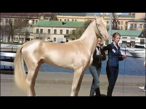 Beautiful & Gold Horse in Dubai   Emirates Royal Family