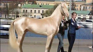 Beautiful & Gold Horse in Dubai   Emirates Royal Family
