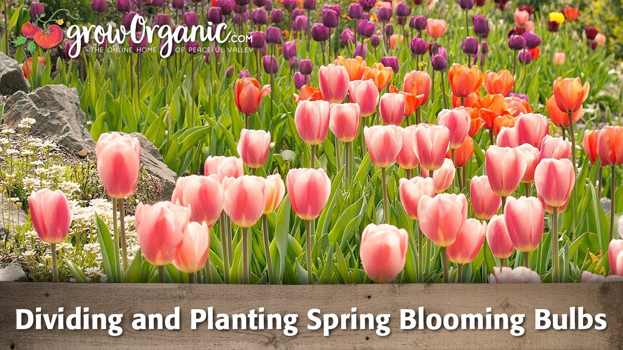 dividing and planting spring blooming bulbs youtube