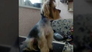 Стрижка собак в Могилеве от Риты Grum