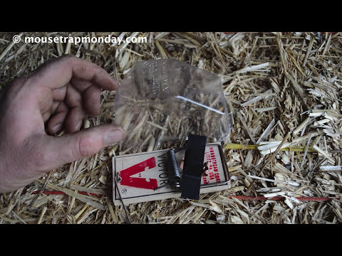 A Skunk Stole My Dead Mouse! The Mercy Kill Mouse Trap System In Action.