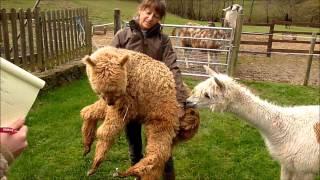 Visite à la ferme des lamas