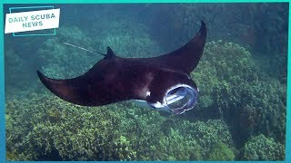 Daily Scuba News - Sharks and Rays On Request