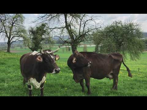 Как живут коровы на пенсии в Швейцарии?