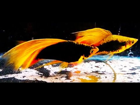 Best Top 10 Most Beautiful Swordtail Fish - Amazing Rare Swordtail Fish, Platy Fish
