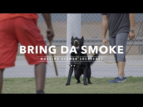 BRING DA SMOKE: WORKING LINE GERMAN SHEPHERDS
