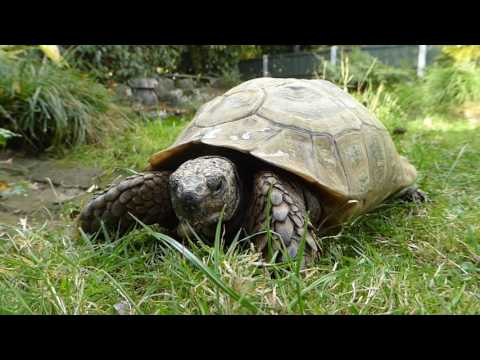 Tommy the tortoise on the move