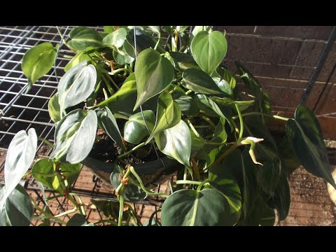 Philodendron Plant Rescue:  How to trim & re-pot 🌼