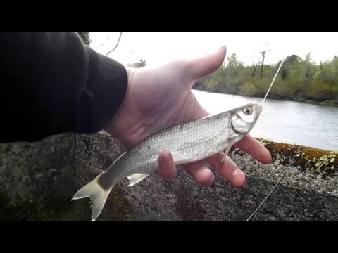 Catching Dace on the River Barrow Ireland  02/05/16