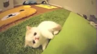 Смешное видео  Котенок гавкает