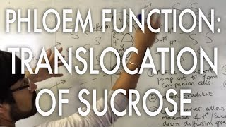 Translocation of sucrose