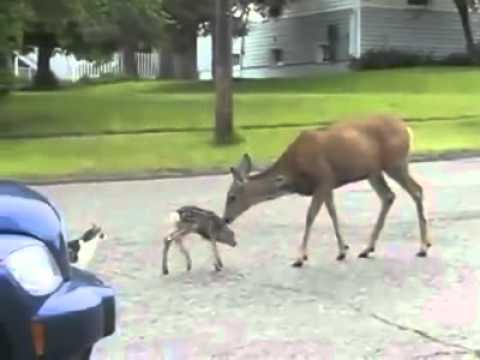 Dog gets his ass whooped by a deer