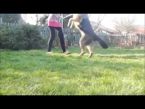 Amazing dog tricks by german shepherd Britney !