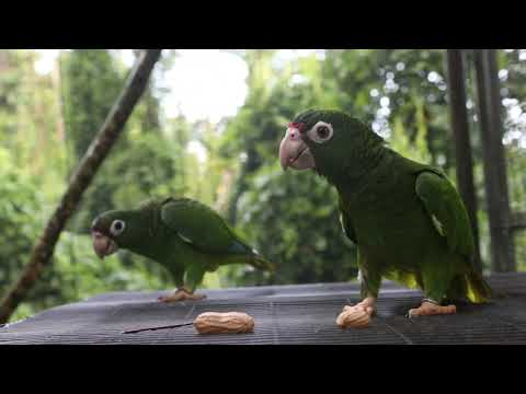 From the brink: Saving the Puerto Rican parrot