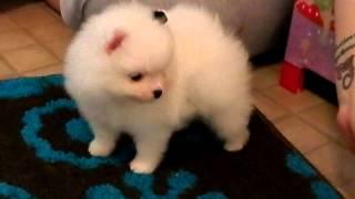 Dash Babys Extreme Tri Parti Piebald Male Pomeranian Puppy