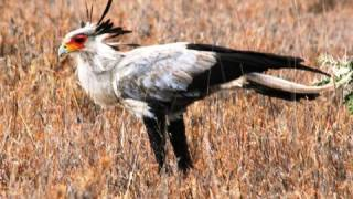 Download Video Africa's Killer Birds MP3 3GP MP4
