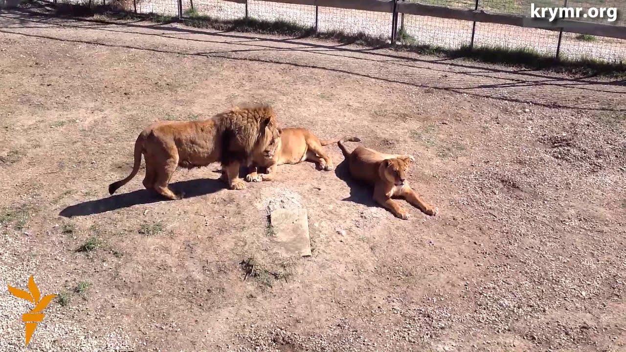 В крымском сафари-парке львы делят территорию