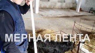 видео Сколько весит корова