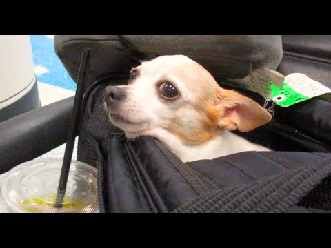 Pet travel by plane 39 pet in cabin airplane travel 39 doovi for Small dogs on airplanes