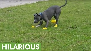 Dog tries to literally run out of his new rain boots