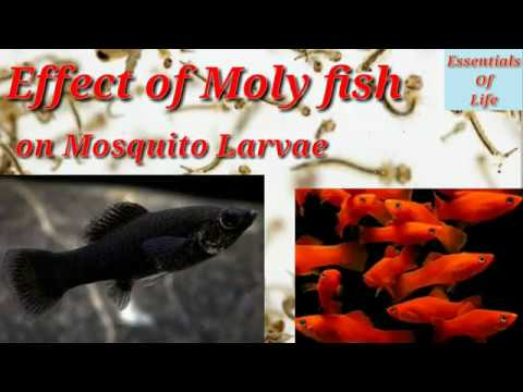 Live Example Moly Fish Eats Mosquito Larvae || Essentials Of Life || 24 September 2018