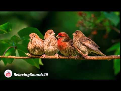 Sonido de Canto de Pajaros por una hora - Birdsing for 1 hour