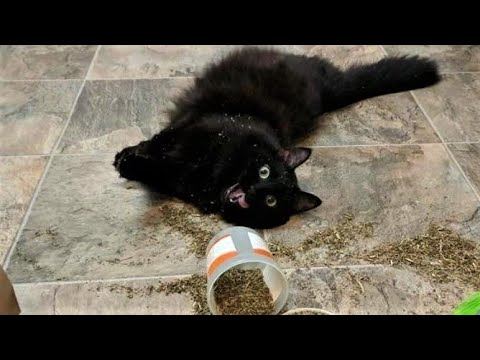 Best Catnip Cats [Super Funny Videos] #1