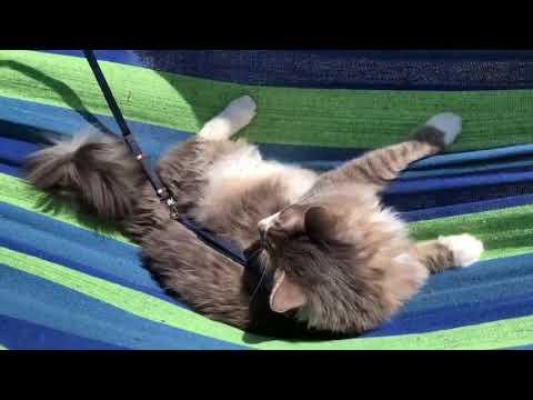 Ride a hammock.Norwegian Forest Cat